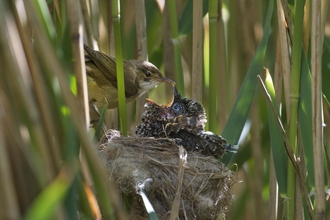 Cuckoo chick and reed warbler