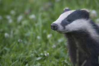 Badger - Bertie Gregory/2020VISION