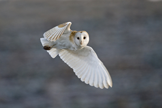 Barn Owl - David Tipling