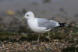 Herring gull | The Wildlife Trusts