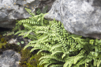Maidenhair Spleenwort