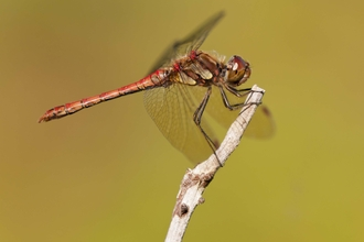 Common Darter male