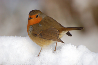 Robin in snow - Stewart McDonald