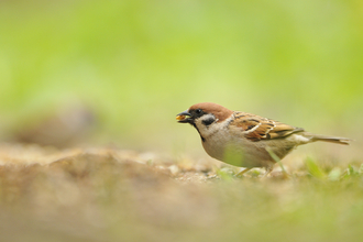 Tree sparrow with seed Fergus Gill/2020VISION