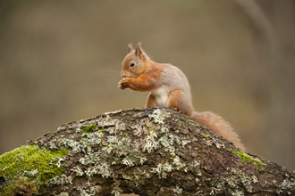 Red Squirrels - Mark Hamblin/2020VISION