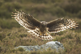 Hen Harrier - Mark Hamblin