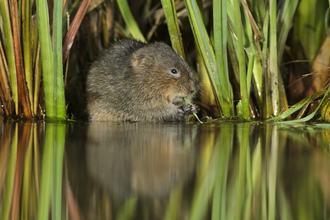Water Vole Terry Whittaker/2020VISION