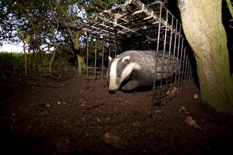 Badger Vaccination Release (c) Tom Marshall