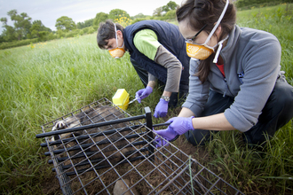 Badger Vaccination Procedure (c) Tom Marshall