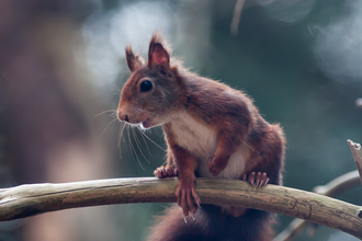 Red Squirrel (c) Mike Snelle
