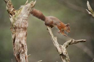 Red Squirrel Jumping (c) Mark Hamblin 2020 Vision