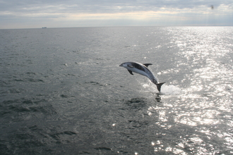 a77dbcd825a5 White-beaked dolphin