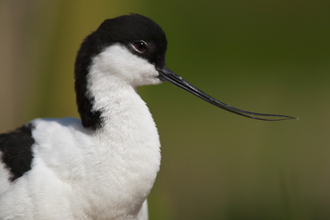 Avocet the wildlife trusts