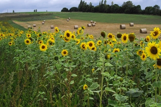 Sunflowers at Lower Smite Farm (c) Zoe Stevens