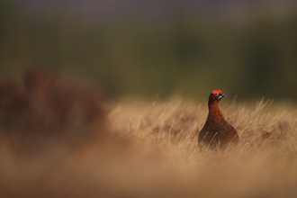 Red grouse (c) Luke Massey/2020VISION