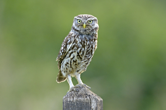 Little Owl (c) Andy Rouse/2020VISION