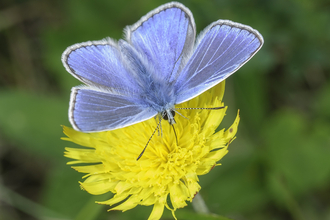 Blue butterfly on yellow flower the wildlife trusts