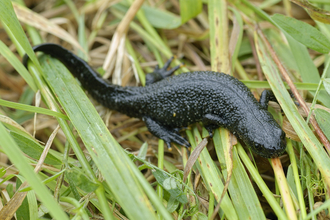 Great crested newt in the grass, The Wildlife Trusts