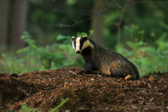 Badger in woods the wildlife trusts