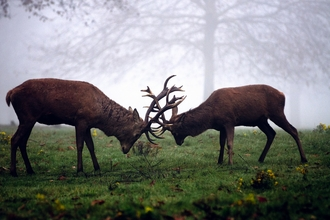Red deer stags clashing, The Wildlife Trusts