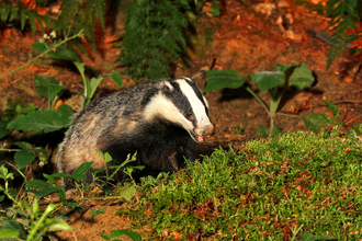 Badger the wildlife trusts