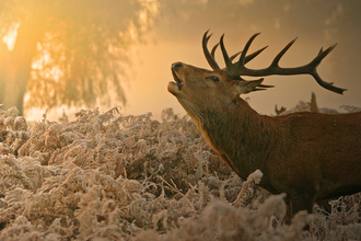 Red deer stag in orange autumn morning light, The Wildlife Trusts