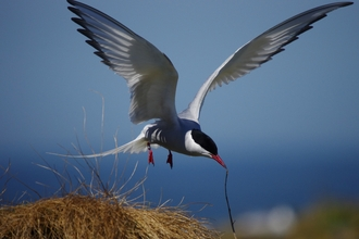 Arctic tern against blue sky, The Wildlife Trusts