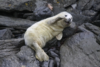 Grey seal pup waving its flipper, the Wildlife Trusts