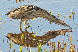 Bittern wading with reflection, The Wildlife Trusts