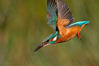 Kingfisher flying, The Wildlife Trusts