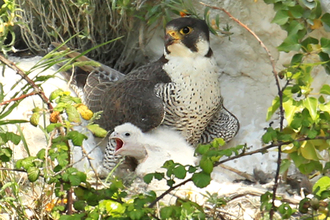 Peregrine falcon with chick, The Wildlife Trusts