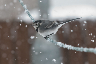 Pied wagtail perched on a washing line as snow falls, The Wildlife Trusts