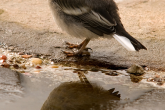 Pied wagtail chick stands on the ground with reflection on puddle, The Wildlife Trusts