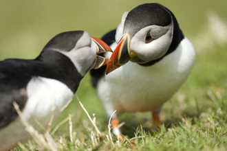 Puffin mates billing The Wildlife Trusts