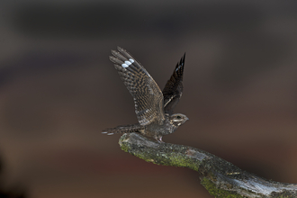 Nightjar alighting on perch, The Wildlife Trusts