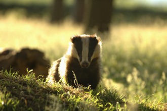 Badger in sunlight the wildlife trusts