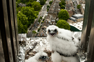 Peregrine falcon chicks on urban ledge, The Wildlife Trusts