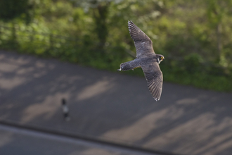 Peregrine falcon flying over pavement, the Wildlife Trusts