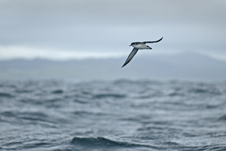 Manx shearwater flying over sea, The Wildlife Trusts