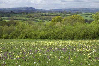 Wildflower meadow with early purple and green winged orchid, and cowslips in bloom, The Wildlife Trusts