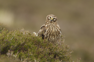 Adult hen harrier female perched on heather on moorland, the Wildlife Trusts
