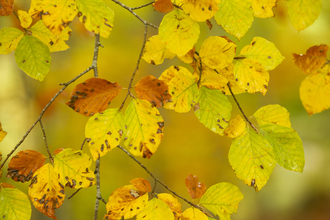 Beech woodland leaves in Autumn, The Wildlife Trusts