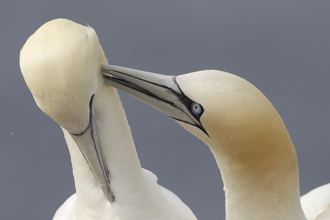 Gannet pair grooming, The Wildlife Trusts