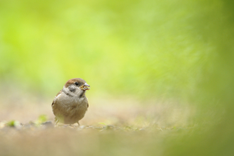 Tree Sparrow fledgling foraging for food in a field, The Wildlife Trusts