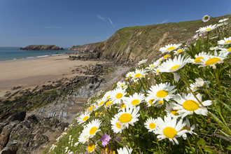Oxeye daisies near beach, The Wildlife Trusts