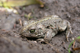 Natterjack toad, the Wildlife Trusts