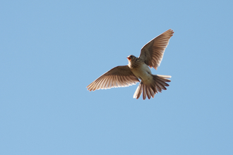 Skylark, The Wildlife Trusts