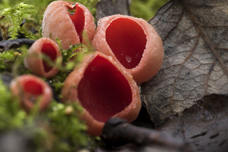 Red elf cup fungus growing among moss and dead leaves, the Wildlife Trusts