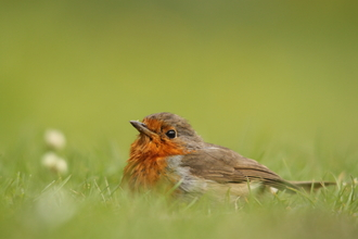 Robin sitting in the grass, The Wildlife Trusts