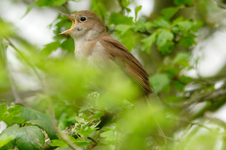 Nightingale singing amongst foliage